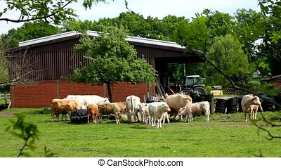 Many cows on the grassfield - Many cows on the ground and ...