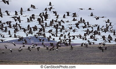 Many cranes flying in super slow motion - Profile view of ...