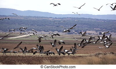 Many cranes taking off in super slow motion - Profile view ...