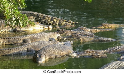 Many Crocodiles in the Wild Lie in a Marshy River on the...