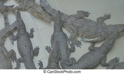 Many crocodiles lie on the ground basking in the sun....