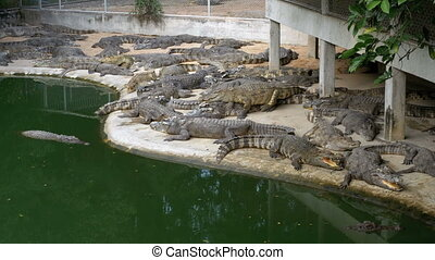 Many Crocodiles Lies near the Water of Green Color. Muddy...