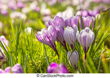 many crocus flowers on green meadow