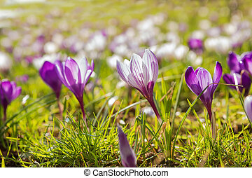 many crocuses on meadow in sunshine