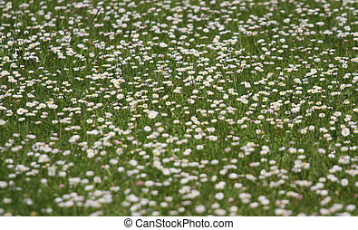 many daisies that bloomed in the spring
