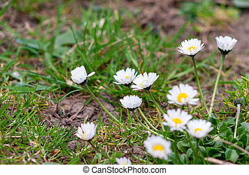 Many daisy flowers in meadow, garden. Spring time