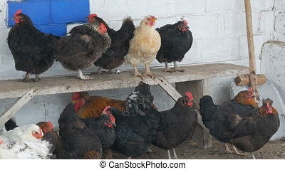 Many different hens, roosters and chickens sitting in rural...