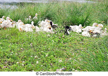 Many domestic ducks are lying in the grass near the reservoir. Life in the countryside.