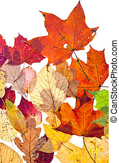 many dried motley autumn leaves isolated on white background