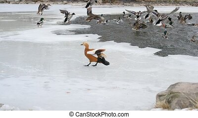 Many ducks take wing from party frozen pond in winter