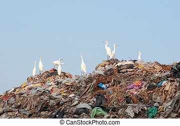 egrets on the garbage heap - many egrets on the garbage heap