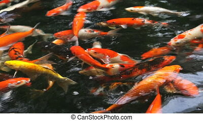 Many Fancy carp or Called Koi fish swimming in carp pond