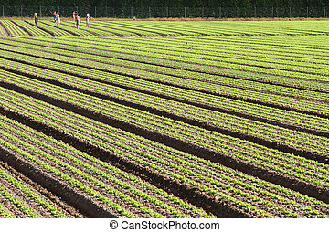 many farmers and cultivated field of green plants