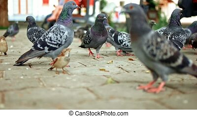 Many Feral pigeons on pavement in slomo - Many Feral pigeons...