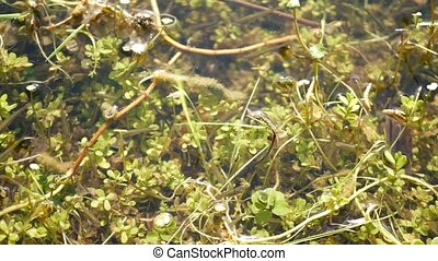 Many fishes, underwater life in pond, lake or shallow freshwater river. Biodiversity of aquatic ecosystem. Sunlit green leaves in fishpond.