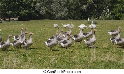 flocks of geese grazing in the meadow