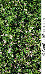 Many flowers of clover in a forest glade on a sunny summer day