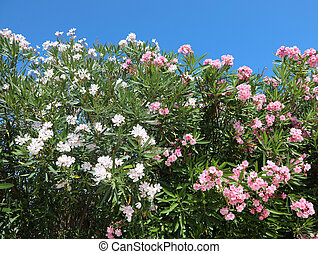 flowers of the Oleander plant that blossomed in summer in ...