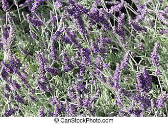 many fragrant Lavender flowers