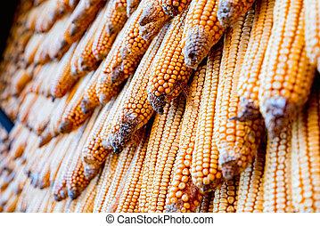 Many fresh corn cobs put together close up