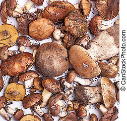many fresh edible forest mushrooms Suillus luteus  and Boletus edulis