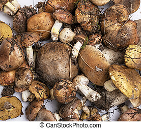 fresh edible forest mushrooms Suillus luteus  and Boletus edulis