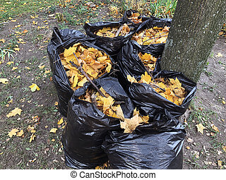 Many garbage bags of raked autumn yellow maple leaves