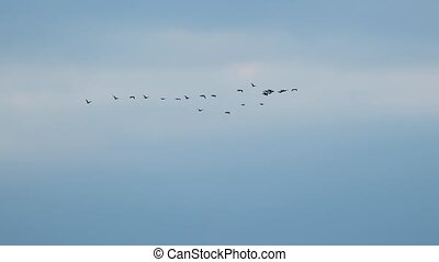 Many Geese Flying - Flock of geese flying in formation,...