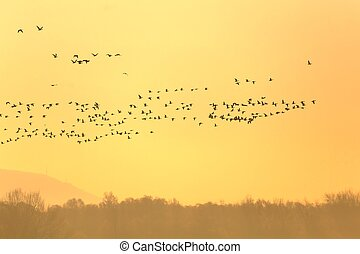 Many Geese Flying