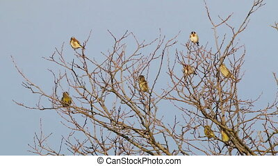 Many Goldfinch perched on a tree