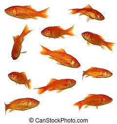 Many goldfish