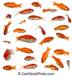 Many goldfish in different sizes and patterns. Original size...