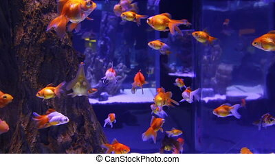 many goldfishes in aquarium