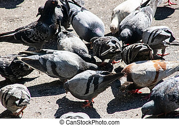 Many gray and blue pigeons on the pavement
