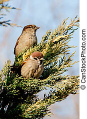 sparrows sitting on the juniper
