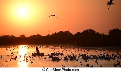 Many great white pelicans and seagulls on water at dawn