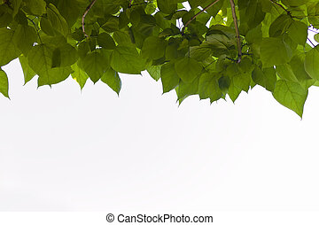 foliage of a tree - many green leaves form a dense foliage ...