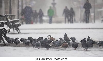 Many grey doves seeking and eating food on a snowy square in...