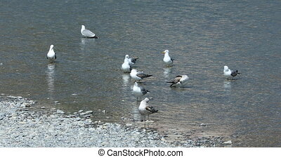 Many Gulls In The River