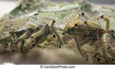 Many hairy caterpillars
