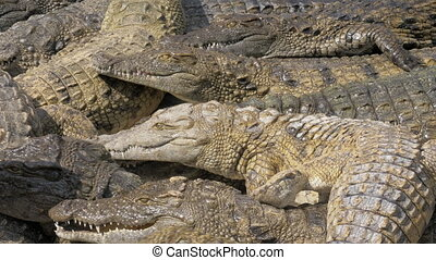Many hungry crocodiles competing for food - Group of hungry...