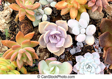 miniature echeveria succulent plant - many kind of miniature...