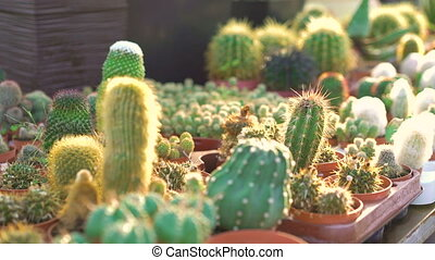 Many kinds of cactuses in garden house