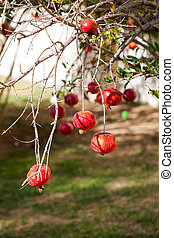 many large ripe round pomegranates hanging from tree branches in a garden