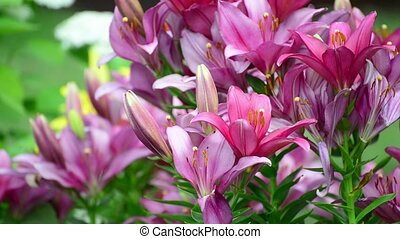 Many lilies bloom in flowerbed - Many lilies bloom in the...