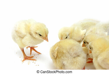chicks - many little yellow chicks