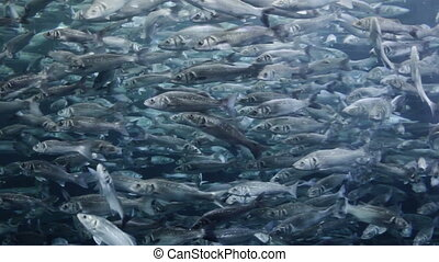 Many mackerel fish, underwater view