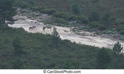 Many male deers in firebreak, bellow time - Long shot of...