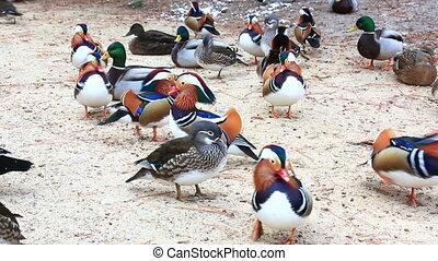 Many mandarin duck birds on sand shore - Flock of bright...