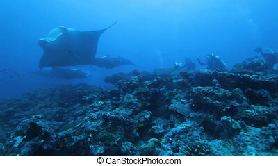 Many mantas with divers